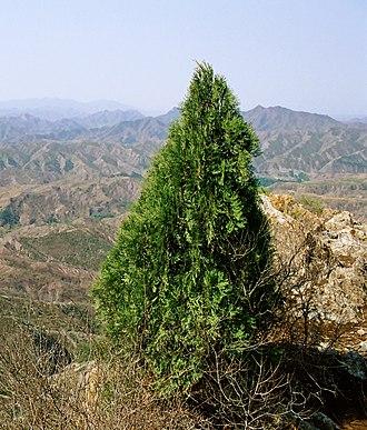 Platycladus - Platycladus orientalis in its natural habitat in Simatai, Great Wall of China