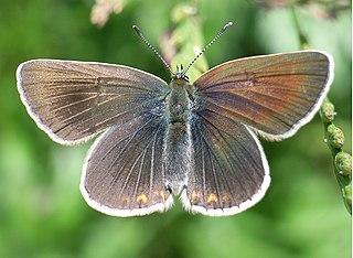 <i>Eumedonia eumedon</i> species of insect