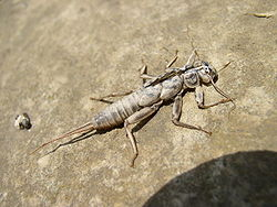 Plecoptera - exuvia.jpg