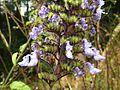 Plectranthus hereroensis, bloeiwyse, Springside Natuurreservaat.jpg