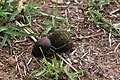 Plum dung beetle (Anachalcos convexus) 4 of 4.jpg