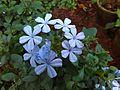 Plumbago auriculata-నీలకేట్టువెలి.jpg