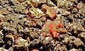 Polyclad Flatworm (Phrikoceros katoi) - Jahir, Lembeh Strait, Sulawesi, Indonesia.jpg