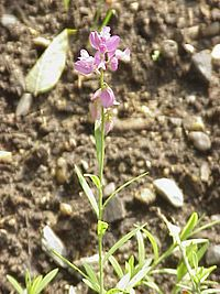 Polygala major1