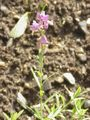 Polygala major1.jpg