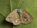 Polyommatus icarus ♀ - Common blue (female) - Голубянка икар (самка) (27163710568).jpg