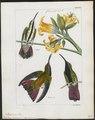 Polytmus mango - 1820-1860 - Print - Iconographia Zoologica - Special Collections University of Amsterdam - UBA01 IZ19100041.tif