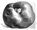 Pomme de terre Champion Vilmorin-Andrieux 1883.png