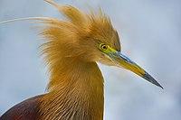 Pond Heron Safari Park.jpg
