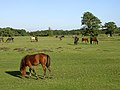 Ponies grazing on Longwater Lawn, New Forest - geograph.org.uk - 45458.jpg