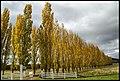 Poplar Trees falling leaves-2 (17327040931).jpg