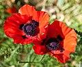 Poppy Flower 4194.jpg