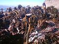Postelsia palmaeformis 2.jpg