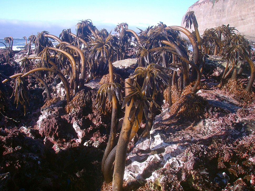 Postelsia palmaeformis 2