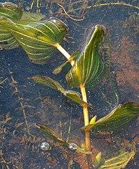 PotamogetonPerfoliatus2.jpg