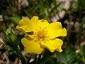 Potentilla diversifolia (5069187641).jpg