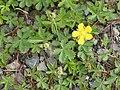 Potentilla reptans (plant).jpg