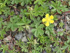 Potentilla - European cinquefoil (P. reptans), the type species of Potentilla, was described by Linnaeus in 1753.