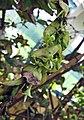 Pouchetia baumanniana -比利時國家植物園 Belgium National Botanic Garden- (9222653666).jpg