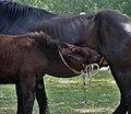 Poulain de cheval de trait, Mirabel en Ardèche 04.jpg