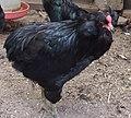 Poule Araucana noir.jpg