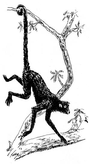Prehensile tail - A prehensile tail.
