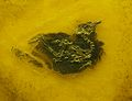 Primozygodactylus major.jpg