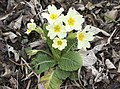 Primula acaulis subsp. acaulis (Çuha çiçeği) 03.jpg