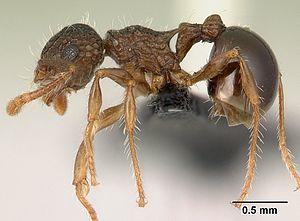 P. punctatus Arbeiterin