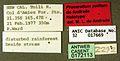 Proceratium politum casent0172113 label 1.jpg