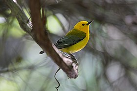 Prothonotary Warbler.jpg