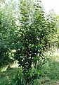 Prunus azorica Graciosa.jpg