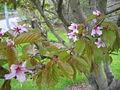 Prunus nipponica Rósakirsiber 2.jpg