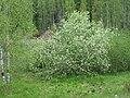 Prunus padus IMG 3315.jpg