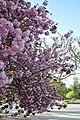 Prunus serrulata 'Kanzan' in the Jardin des Plantes of Paris 003.JPG