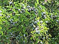 Prunus spinosa 2 - trnjina.jpg