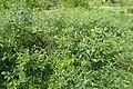 Prunus tenella kz01.jpg