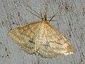 Psammotis pulveralis (40134712494).jpg