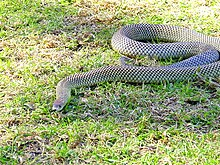a thick-set brownish snake moving over a grass lawn