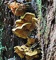 Pseudomerulius curtisii (Berk.) Redhead & Ginns 544128.jpg