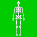 Psoas major muscle01.png