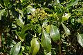 Psychotria capensis, blomme, Jan Celliers Park.jpg