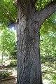 Pterocarya fraxinifolia in Jardin botanique de la Charme.jpg