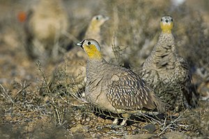 Crowned sandgrouse - Image: Pterocles coronatus
