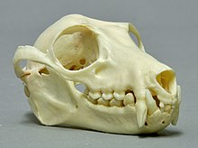 A bat skull with prominent canines on a white background.