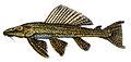 Pterygoplichthys pardalis.jpg