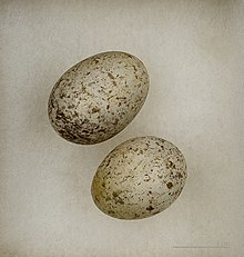whitish eggs with grey and brown blotching