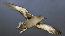 A dark gray shearwater flies across the night sky.