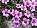 Purple Saxifrage in Ben Lawers NNR - geograph.org.uk - 7431.jpg