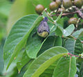 Purple Sunbird- Female bathing & sliding in the Jarul (Lagerstroemia speciosa) leaf- I IMG 9278.jpg